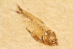 从始新世的化石鱼,大约50百万岁 免版税图库摄影