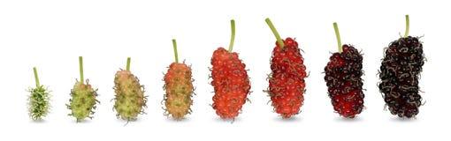 从婴孩浅绿色的颜色的桑树果子,直到是成熟深红颜色 免版税库存照片