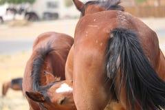 从它的母亲的狂放的美国野马马驹护理 免版税库存图片