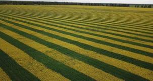 从寄生虫的黄色油菜籽领域视图 股票视频