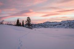 从导致一些云杉的树的狐狸的轨道在冬天环境美化与雪和美好的日出,在Setesdal,挪威 免版税库存照片