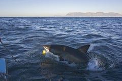 从小船攻击我们在开普敦的鲨鱼 免版税库存图片