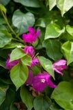 从巴厘岛宏指令摄影的热带花 免版税库存图片