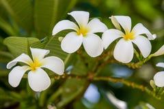 从巴厘岛宏指令摄影的热带花 免版税库存照片