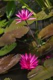 从巴厘岛宏指令摄影的热带花 图库摄影