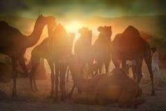 从市的骆驼供营商普斯赫卡尔,普斯赫卡尔Mela 库存照片