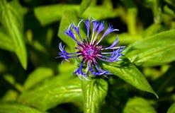 从庭院的一朵紫色/蓝色花 免版税库存照片