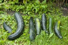 从庭院的新鲜的夏南瓜 免版税库存图片
