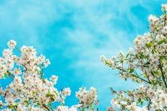 从开花的杏仁李子樱桃苹果树分支的花卉框架与在明亮的蓝天的小花 复活节母亲节 免版税库存照片