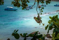 从成束树螃蟹吃短尾猿的猕猴属的猴子摇摆 图库摄影