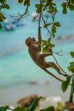 从成束树螃蟹吃短尾猿的猕猴属的猴子摇摆 免版税图库摄影