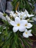 从我的庭院的白花 免版税库存图片