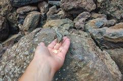 从手的哺养的蜥蜴 免版税库存照片