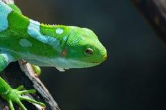 从斐济的一只鬣鳞蜥坐分支 免版税库存照片