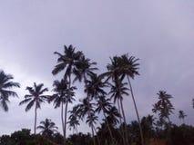 从斯里兰卡的椰子树 免版税库存照片