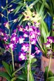 从新加坡全国兰花庭院的紫色桃红色兰花 库存图片