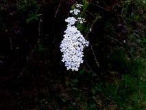 从新娘spirea吊的花象首饰 免版税库存照片