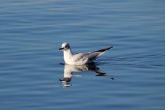 从日内瓦湖的鸟 免版税库存照片
