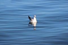 从日内瓦湖的鸟 免版税图库摄影