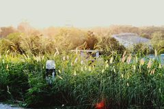 从日落的光反射开花的草  库存照片