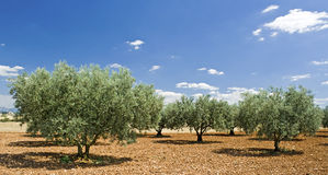 从普罗旺斯的橄榄树。 法国。 免版税库存照片