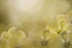 从木槿的花卉黄色白的背景 开花构成 在晴朗的背景的中国人玫瑰色花 免版税库存图片