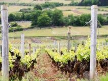 从未成熟的葡萄的葡萄园在秋天收获的日落 库存图片