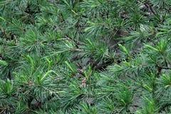 从杉木针特写镜头分支的美好的绿色背景  库存图片