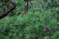 从杉木针特写镜头分支的美好的绿色背景  免版税图库摄影