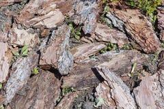 从杉树,纹理背景的新鲜的湿木片 免版税库存照片