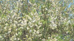 从杨柳的芽在风的出错 影视素材