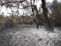 从林区大火的白灰围拢的玉树 免版税库存图片