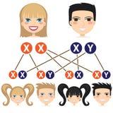 从染色体的性别相关性。 向量例证