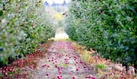 从树下落的新鲜的苹果在草 图库摄影
