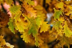 从树杜马的秋叶 秋天秋天朋友生叶在结构天气木头之下 布朗在分支的黄色叶子 背景自然在10月 免版税库存照片
