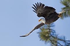 从树的老鹰飞行 免版税库存照片