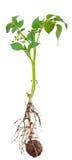从根的土豆新芽 免版税库存图片