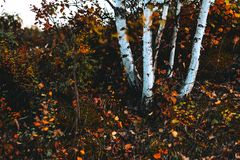 从桦树的底部的看法在有大量的秋天森林黄色叶子、灌木、青苔和其他山植被 免版税库存照片