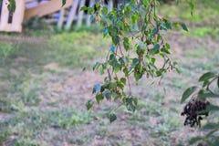从桦树的植物在中部 免版税库存照片