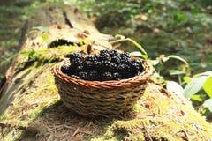 从森林的新鲜的黑莓篮子 库存图片