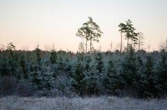 从森林视图的冬天日落,在领域 Otanki,拉脱维亚 免版税库存图片
