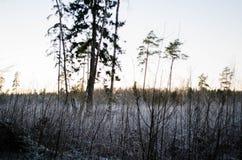 从森林视图的冬天日落,在领域 Otanki,拉脱维亚 免版税库存照片