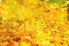 从槭树下落的叶子的明亮的五颜六色的秋天背景  库存照片
