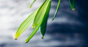 从橄榄色的枝杈的橄榄油滴水 图库摄影