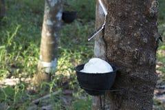 从橡胶树三叶胶提取的乳汁Brasiliensis作为天然橡胶,从树的天然橡胶的来源在杯子 免版税图库摄影