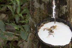 从橡胶树三叶胶提取的乳汁Brasiliensis作为天然橡胶,从树的天然橡胶的来源在杯子 库存图片