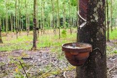 从橡胶树的开发的乳汁 库存照片