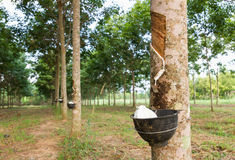 从橡胶树的开发的乳汁 库存图片
