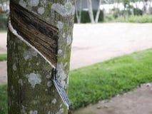 从橡胶树,三叶胶brasiliensis的天然橡胶 免版税库存照片