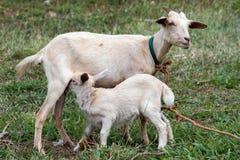 从母亲的小山羊新出生的幼儿牛奶 库存图片